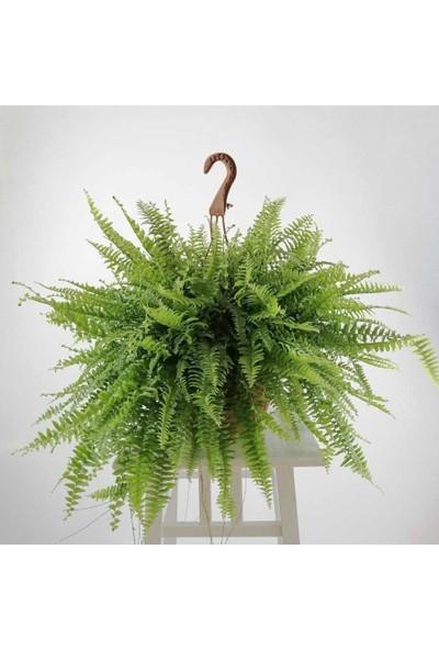 Fidan Burada Aşk Merdiveni - Panjur Çiçeği Nephrolepis Exaltata Askılı Saksıda