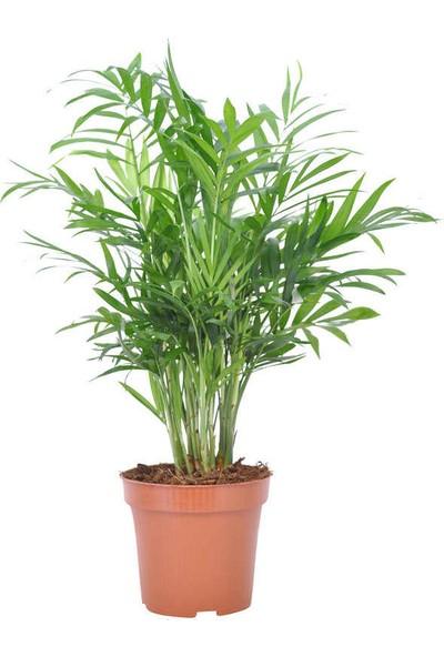 Fidan Burada Dağ Palmiyesi Chamaedorea Elegans 30 cm