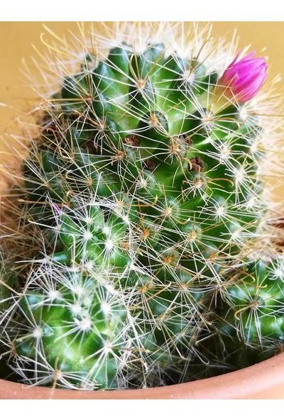 Fidan Burada Mammillaria Backebergiana Kaktüs Seti Terracota Saksılı
