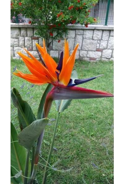 Fidan Burada Starliçya Cennet Kuşu Strelitzia Reginae 30 - 40 cm
