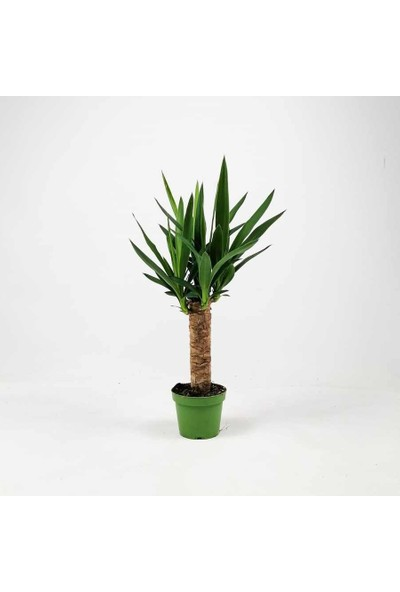 Fidan Burada Yuka Bitkisi Yucca MassengenaTek Gövdeli 40 - 50 cm