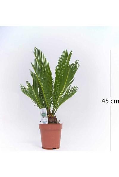 Fidan Burada Sikas Cycas Revoluta Japon Sago Palmiyesi 30 40 cm