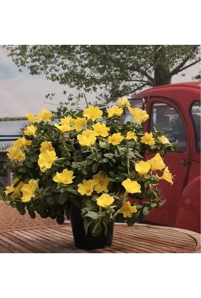 Çam Tohum Nadir Ezan Çiçeği Tohumu 150 Adet