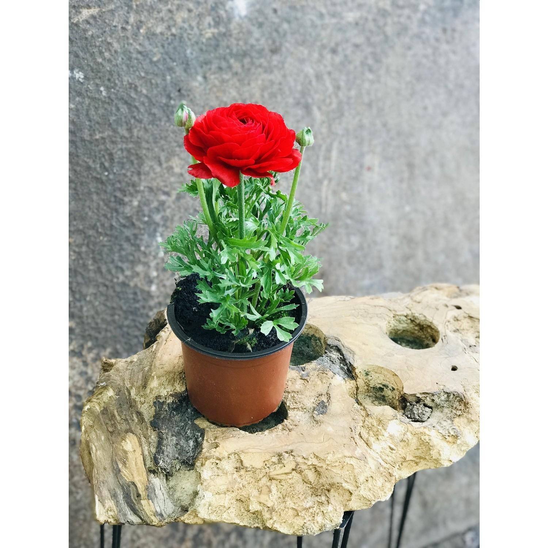 Fidanova Fidano Saksıda Şakayık Çiçeği Fiyatı - Taksit Seçenekleri