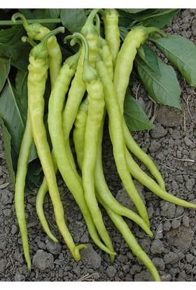 Çam Tohum Acı Sarı Sivri Biber Tohumu Süper Paket 250 Tohum