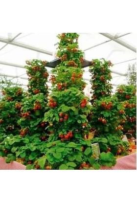 Çam Tohum Alman Çilek Ağacı Tohumu Süper Paket 100 Tohum Çilek Tohumu