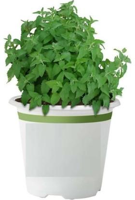 Çam Tohum Isırganotu Tohumu Yeşil Isırgan Otu Tohumu Süper Paket 1000 Tohum