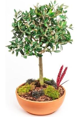Çam Tohum Bodur Zeytin Bonzai Ağacı Tohumu 2'li