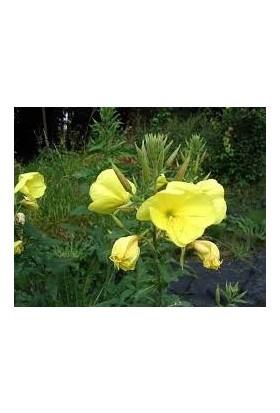Çam Tohum Ezan Çiçeği Tohumu 500'lü