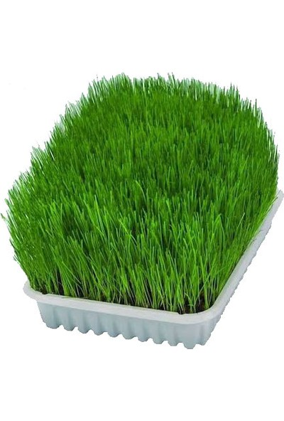 Mavi Yeşil Berra Kedi Çimi 15'li