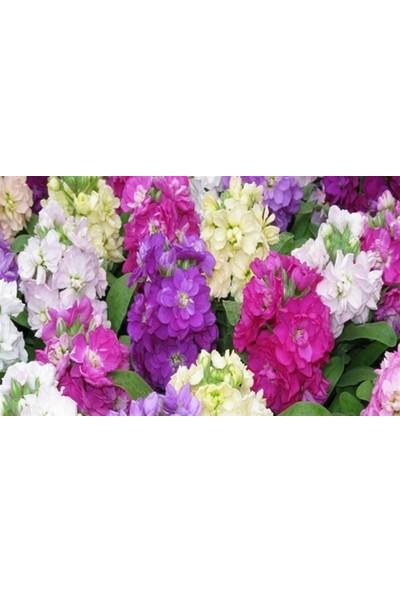 Fide Sepeti Şebboy Çiçeği Tohumu 1 Paket