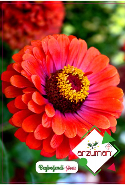Arzuman Beybeğendi Çiçeği Tohumu 30'lu
