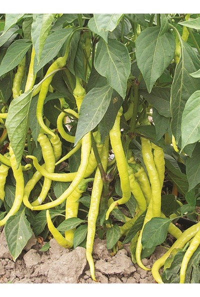 Çam Tohum Acı Sarı Sivri Biber Tohumu Eko Paket 100 Tohum