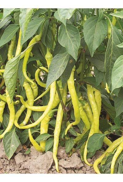 Çam Tohum Acı Sarı Sivri Biber Tohumu 15 Tohum