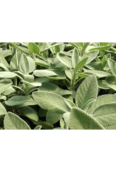 Çam Tohum Nadir Ada Çayı Tohumu 10 Adet Tohum Adaçayı Ot Çayı Dağ Çayı Dağçayı