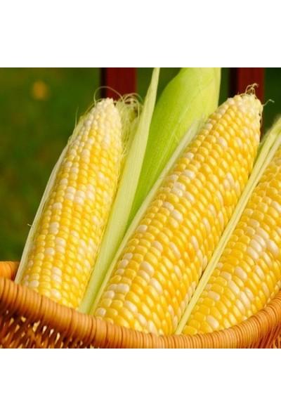 Çam Tohum Haşalamalık Süt Mısır Tohumu Süper Paket 500 Tohum
