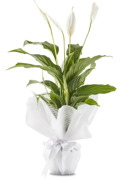 Lezzetliçiçek Spathiphyllum Barış Çiçeği Lezzetli Çiçek