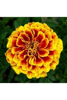 Rem Seeds Fransız Kadife Çiçeği Tohumu Karagöz Kadife Tagetes Patula 50'li