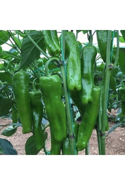 Ege Tarım Üç Burun Mazamort Köy Biberi Kızartmalık Biber Tohumu