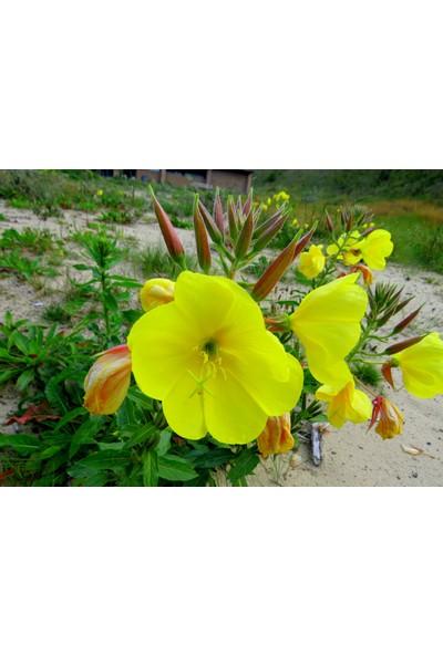 Rem Seeds Ezan Çiçeği Tohumu 1 Oenothera 50'li