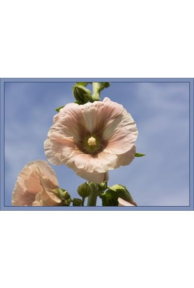 Rem Seeds Gülhatmi Çiçek Tohumu Hatim Çiçeği Alcea Rosea 25'li