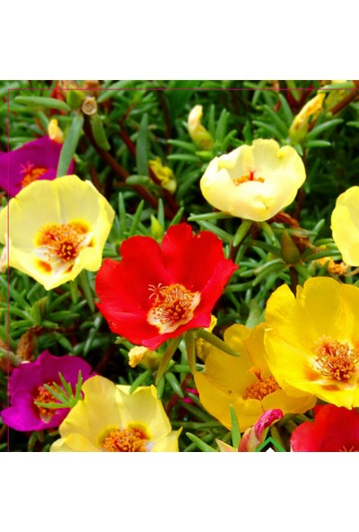 Rem Seeds Ipek Çiçeği 50'li