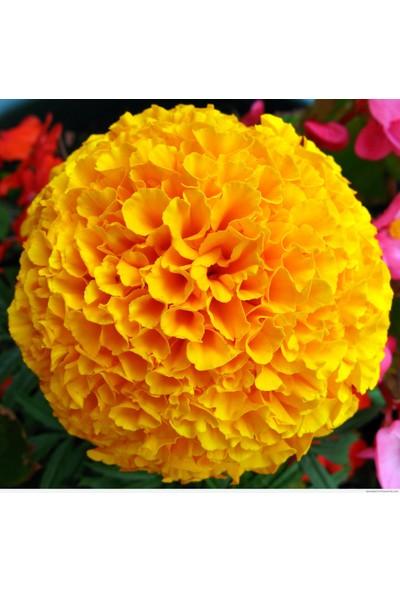 Rem Seeds Top Kadife Çiçek Tohumu Sarı Renk Tagetes Erecta Yellow 50'li