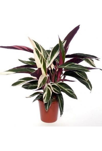 Palmiye Stromanthe Dua Çiçeği