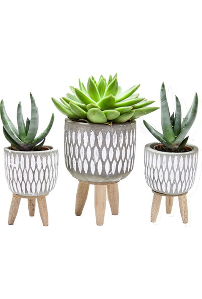 Dekormatik Echevira & Corel Aloe Sukulent Üçlü Tasarım