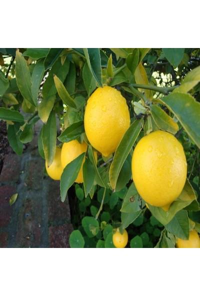 Anamur Naturel Tüplü Aşılı Bodur Mayer Limon Fidanı - Iç Mekan