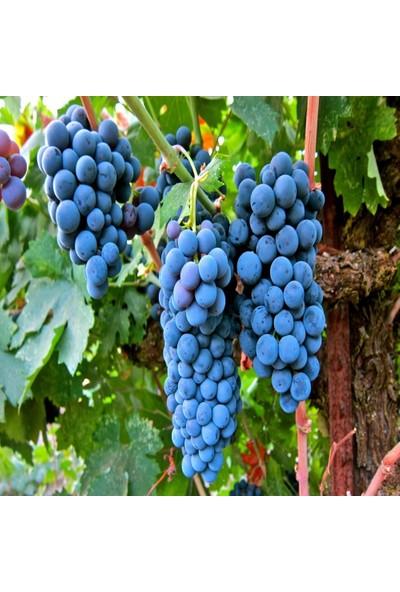 Anamur Naturel Tüplü Meşhur Şaraplık Merlot Üzüm Fidanı