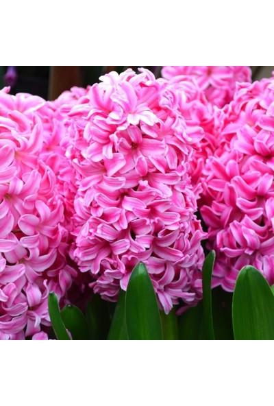 Mutlu Paket Hyacinthus Pink Pearl Kokulu Pembe Sümbül Soğanı 3'lü