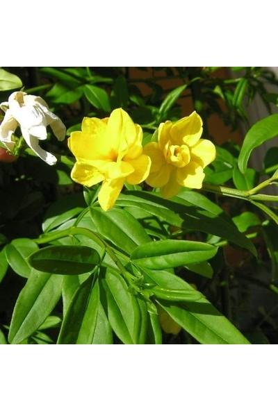 Mutlu Paket Tüplü Sarı Çiçekli Yasemin Yellow Jasmine Fidanı 150 - 200 cm