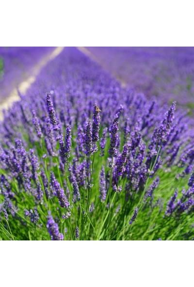 Mutlu Paket Tüplü Yoğun Kokulu Aromatik Lavanta Fidanı