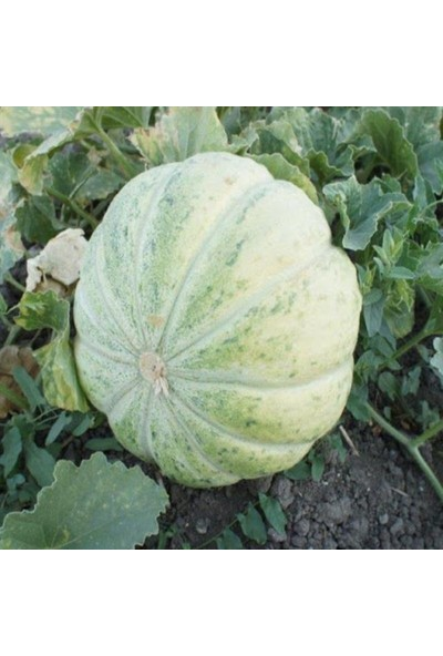 Mutlu Paket Beyaz Mühürlü Kavun Tohumu 500 gr