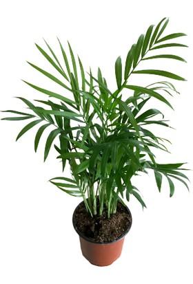 İde Bahçe Chamaedorae Elegans Minyatür Palmiye