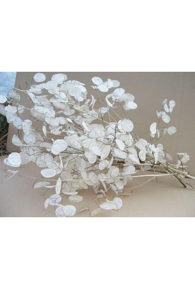 İde Sedef Çiçeği Fidesi Lunaria Annua