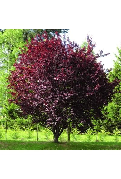 Baktar Tüplü Kırmızı Yapraklı Süs Eriği Prunus Nigra Fidanı