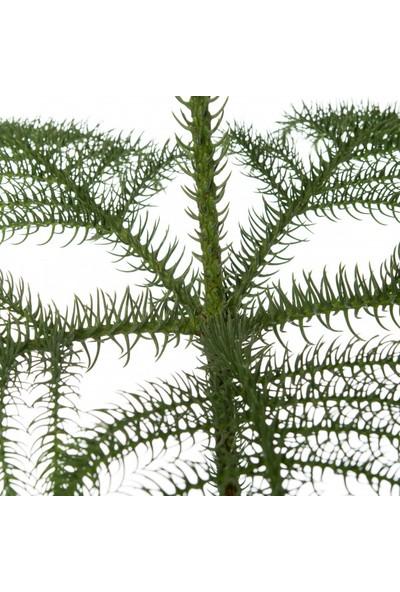 Peyzaj Burada Araucaria Heterophylla Arokarya Salon Çamı Bitkisi 30 cm