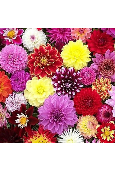 Idebahçe Dahlia Yıldız Çiğeği Soğanı Karışık Renkler 3'lü
