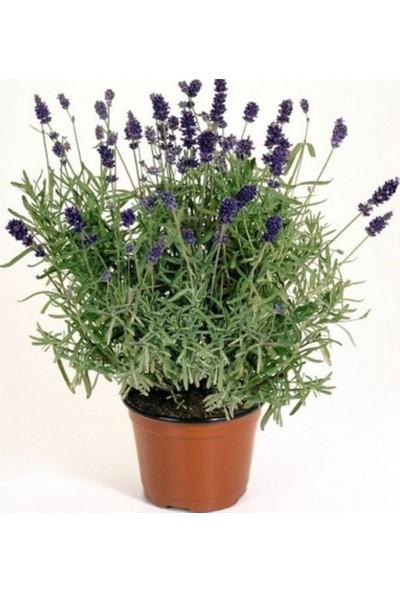 Anamur Naturel Tüplü Mavi Çiçekli Lavanta Fidanı