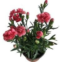 Armenbotanik Saksıda Karanfil Çiçeği Kırmızı Çiçekli
