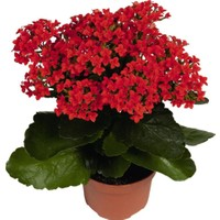 Armenbotanik Kalanchoe - Kalanşo Çiçeği Kırmızı Çiçekli