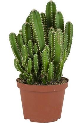 Fidan Burada Cereus Peruvianus -Florida-Radrasyon Emici Kaktüs