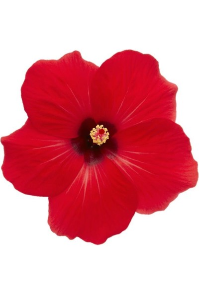 Armenbotanik Hibiscus Japon Gülü