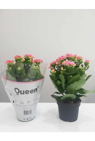 Fidan Burada Pembe Kalanşo Çiçeği- Orta Boy-Kalanchoe