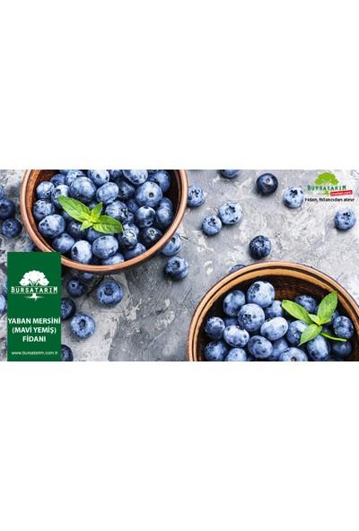 Bursa Tarım Duke Yaban Mersini Fidanı Mavi Yemiş Blueberry