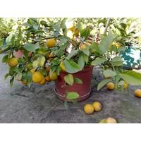 Tohhum Mayer Limon 5 Tohum [Tohhum Ev Bahçe]