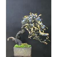 Tohhum Blueberry Bonsai Ağacı 10+Tohum Saksı Toprak Seti [Tohhum Ev Bahçe]