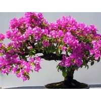 Tohhum Erguvan Bonsai Ağacı 5 Tohum (Saksı Toprak Seti) [Tohhum Ev Bahçe]
